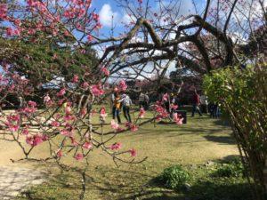 今帰仁グスク 桜祭り